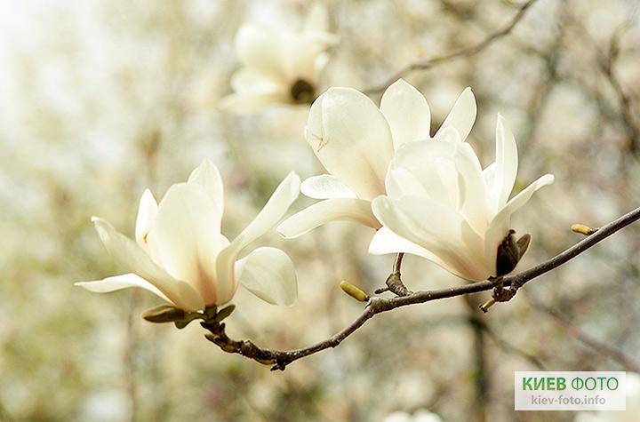 magnolii_v_kieve_28